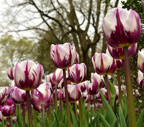 Longwood Tulips -03 Joe | by KathyCat102