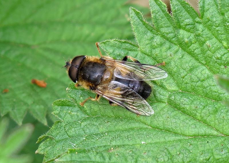 Hoverfly - Eristalis pertinax