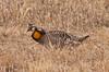 Greater Prairie Chicken by Sandy McRuer