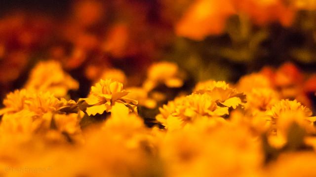 3am marigolds