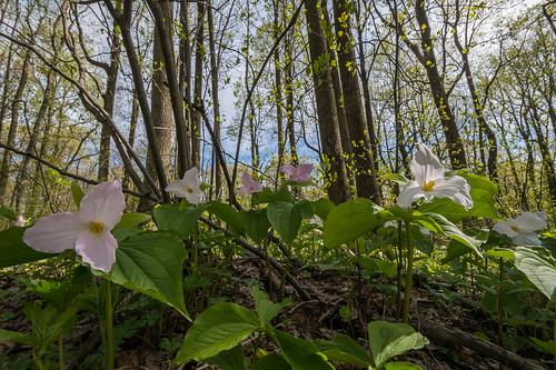 trillium virginia hike fieldtrip wildflower bccc grthompsonstatewildlifemanagementarea 1305041514