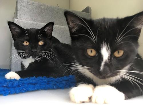 Kittens, Monica & Joey, (4th August 2016) | by headbonks