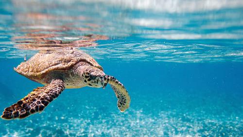 Hawksbill sea turtle   by sovtour2