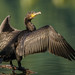 Great Cormorant - Photo (c) seelengalerie, some rights reserved (CC BY-NC-ND)