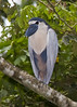 boat-billed heron, Cochlearius cochlearius by B & T Photography