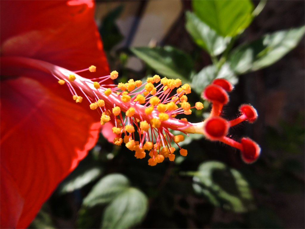 Anatomy Of A Hibiscus Bloom On The Long Pistil Is The Stig Flickr