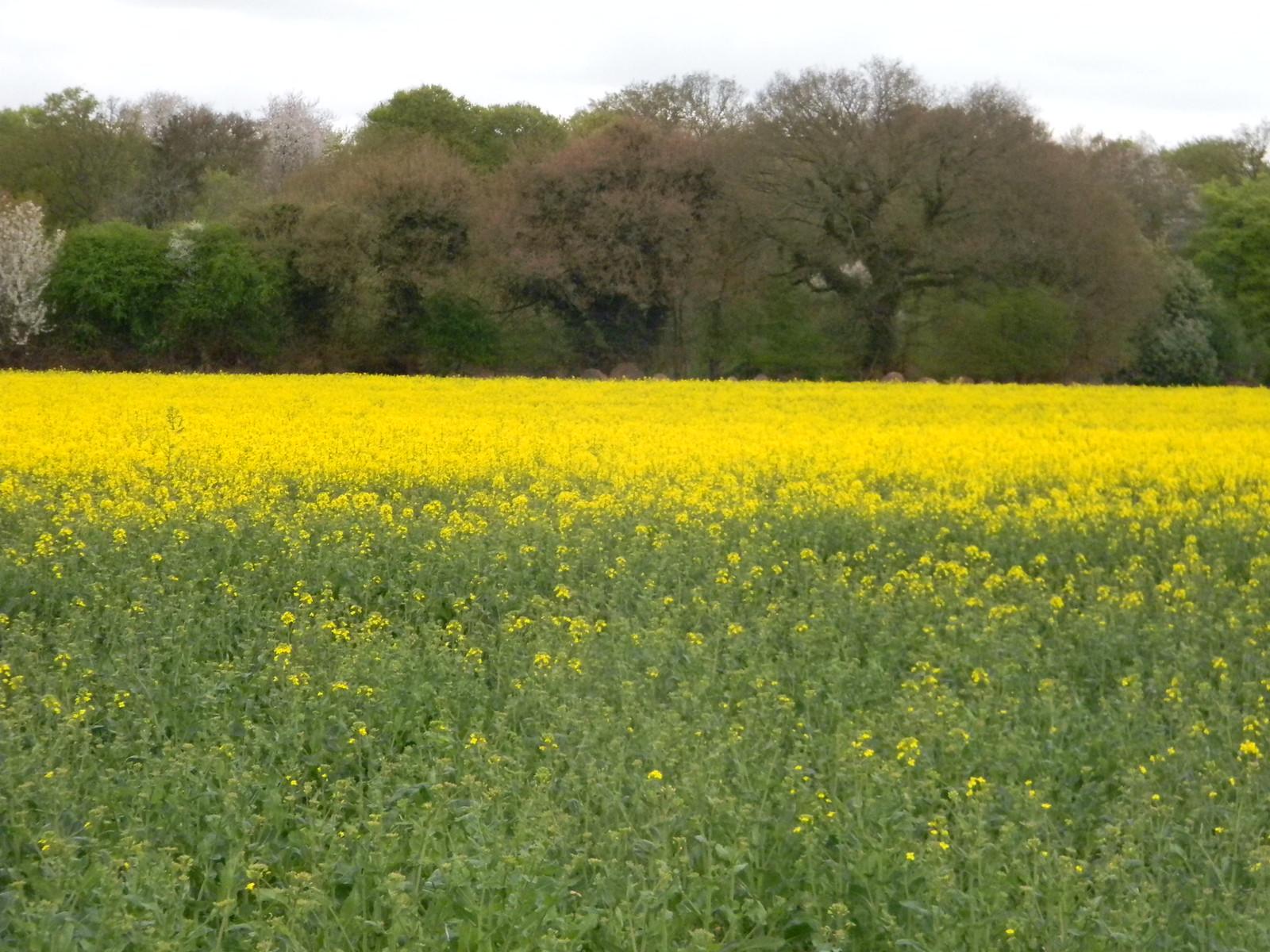 Field of rape Shiplake to Henley