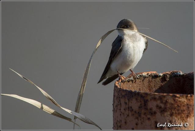 Nesting Tree Swallow (20130422-0904)
