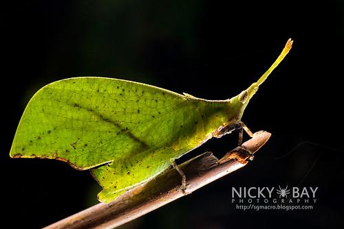 Forest Leaf Grasshopper (Systella rafflesii) - DSC_7530   by nickybay