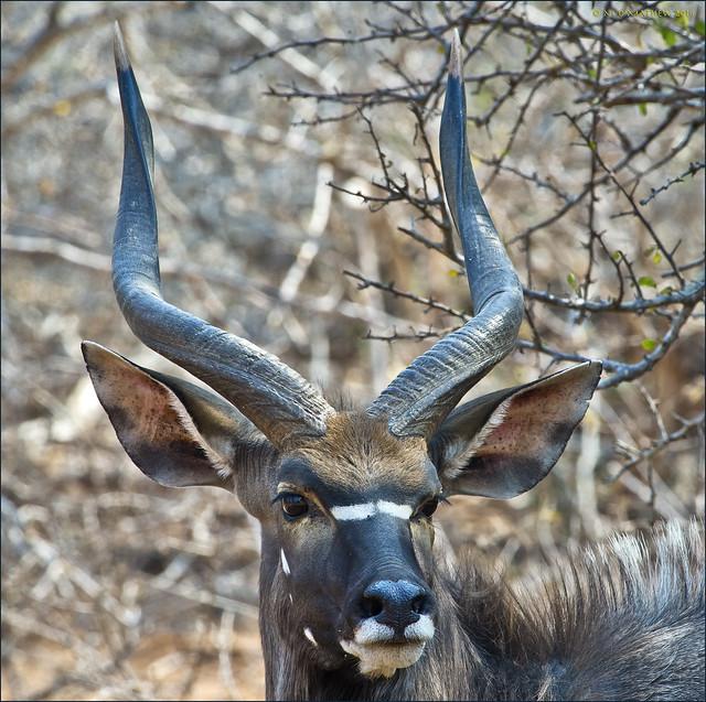 Nyala (Tragelaphus angasii), Kruger N.P., S.A.