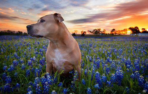 flowers dog field sunrise landscape dawn texas bluebonnets