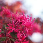 紅花常盤満作 / Loropetalum chinense var. rubra