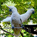 Sulphur-crested Cockatoo - Photo (c) Lance, some rights reserved (CC BY-NC-ND)
