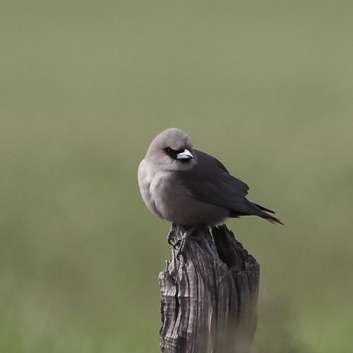 Black-faced Woodswallow at Dalwallinu | by WA47