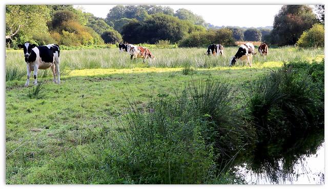 Heifers along the Garo