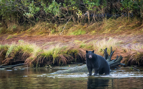 autumn canada britishcolumbia september vancouverisland blackbear d800 ursusamericanus victoriaquay 2013 somassriver nikon300f4 nikon14tce