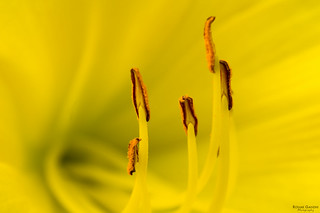 Heart of a Daylily | by RonakG