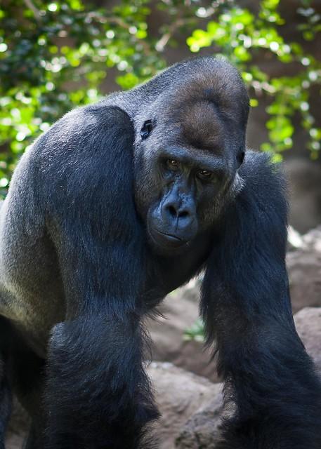 Loro Parque - Gorilla Enclosure