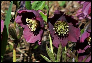 Hellébore orientale hybride  (2) | by Neira Magic'B