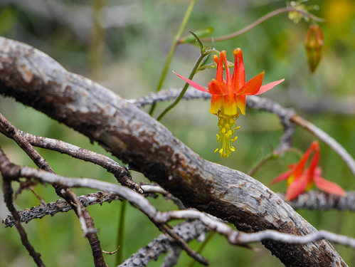 Crimson Columbine | by snackronym