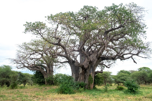 Baobabs | by Laura Jacobsen