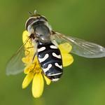 Späte Großstirnschwebfliege (Pied Hoverfly, Scaeva pyrastri)