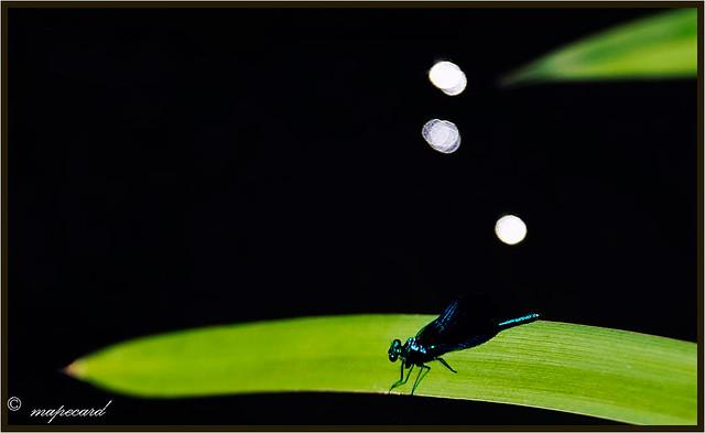Calopteryx virgo, Gaiteiro azul.