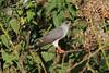 Micronisus gabar (Gabar Goshawk) - Entebbe, Uganda by Nick Dean1