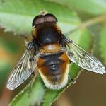 Hummel-Keilfleckschwebfliege (Furry Bee Mimic Hoverfly, Eristalis intricaria)