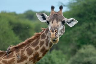 Twiga, the apt Swahili word for giraffe   by Laura Jacobsen