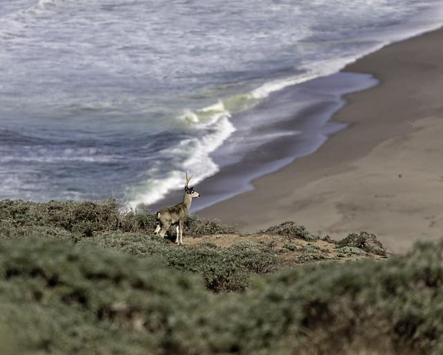 Deer Above the Beach