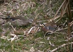 Baikal Teal - male, with female Wood Duck