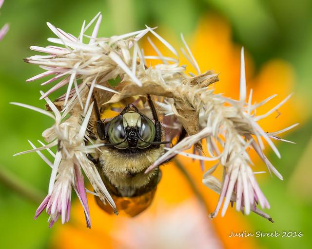 Brookside Gardens Bee-1
