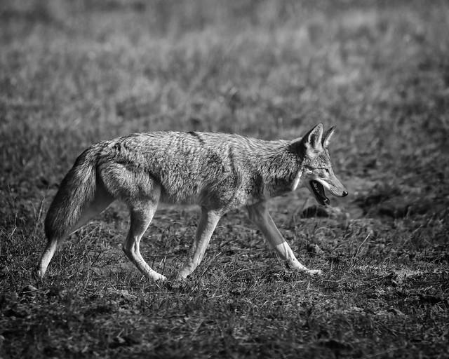 Coyote #18