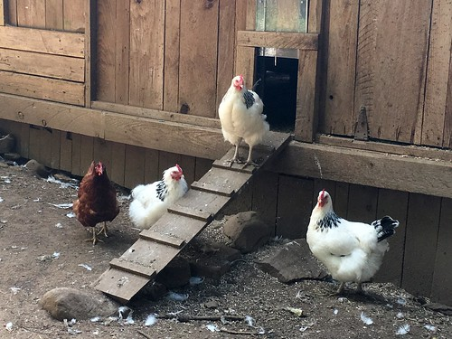 Chickens at Salt Spring Island Cheese | by Beth77