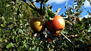 Apple day 2016-apple5 | by grow_bradford