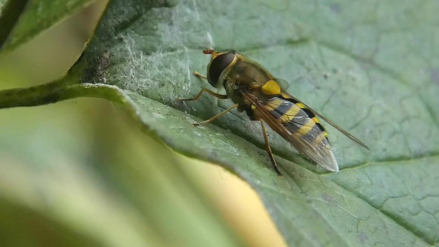 Details of a hoverfly