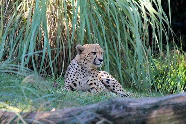National Zoo - Cheetah