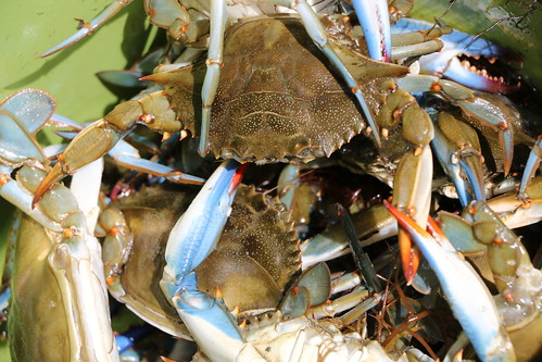 Photo of crabs caught in a basket