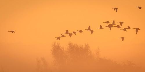 bif birds otmoor oddington england unitedkingdom gb