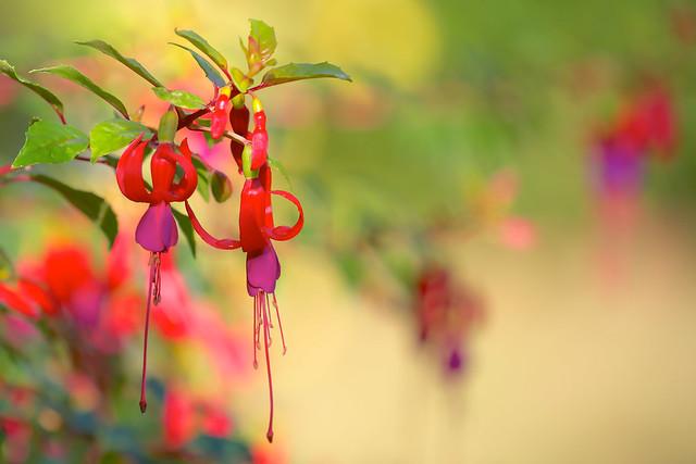 Autumn Fuchsias