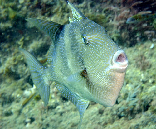 Grey triggerfish (Balistes capriscus), Madeira, 4 Oct 2016 | by wislonhk