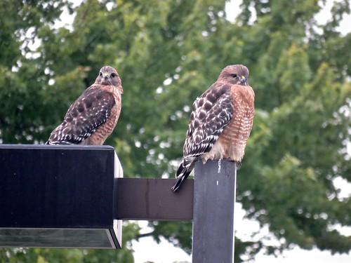 Red-shouldered Hawks | by Justin Lee (NoNameKey)