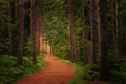 forest tree trees trace pine path landscape leaf leaves light morning luukki espoo finland