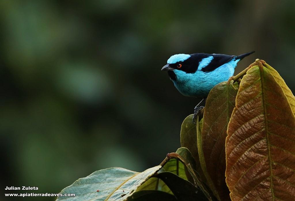 Imagen de una de las aves del Quindio: Dacnis turquesa (Dacnis Hartlaubi)