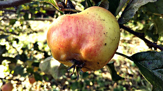 Apple day 2016-apple9 | by grow_bradford