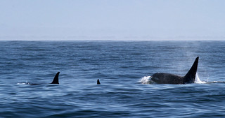 Orca in Monterey Bay | by Tom Clifton