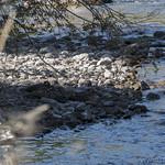 Harlequin Duck brood on Tower Creek