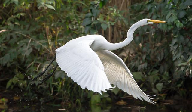 Great Egret 7911
