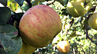 Apple day 2016-apple8 | by grow_bradford